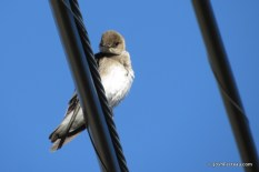 Photo of Northern Rough-winged Swallow