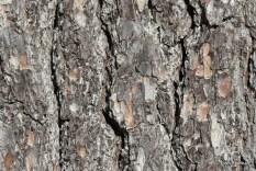 Photo of Eastern White Pine (Pinus strobus)