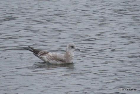 Photo of Mew Gull