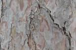 Photo of Red Pine (Pinus resinosa)