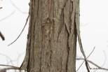 Photo of Shagback Hickory (Carya ovata)