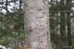 Photo of Staghorn Sumac (Rhus hirta)