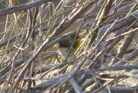Photo of Yellow-breasted Chat