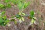 Photo of Hairy-stemmed Gooseberry