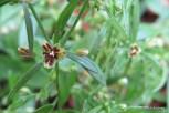 Photo of Green Carpetweed seeds
