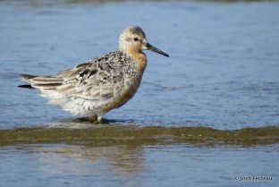 Photo of Red Knot (late July)