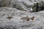 Photo of Red Knots (June)