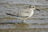 Photo of Red Knot (Aug)