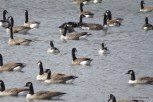 Photo of Barnacle and Canada Geese