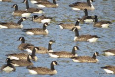 Photo of Canada Geese