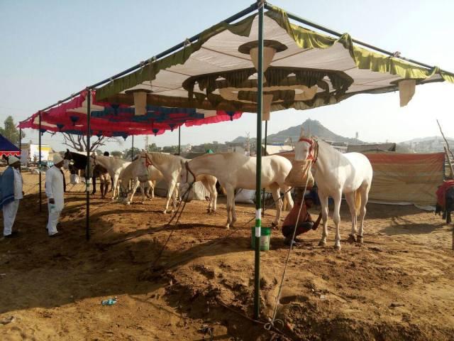 camel-fair