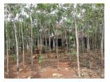 Rumah besar dengan 1000 pohon jati di Kali Putih tajur halang Bogor