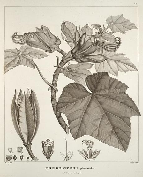 Ilustración del Chiranthodendron pentadactylon para la obra Essai sur la géographie des plantes (Alexander von Humboldt, 1805) Fuente: Wikimedia Commons