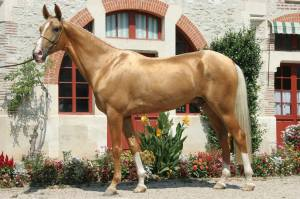 ikon-_golden_akhal_teke-stallion