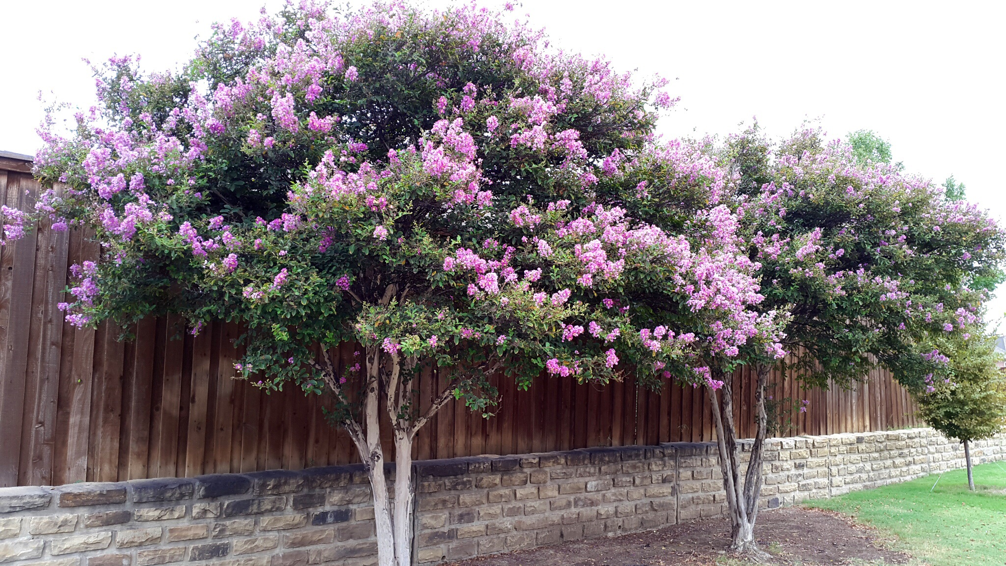 Ideal Image Crepe Myrtle Jugnoo Farms Trees Green Leaves Trees Purple Flowers Seed Pods Purple Flowers houzz-03 Trees With Purple Flowers