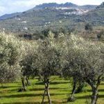 Olive picking in central Portugal