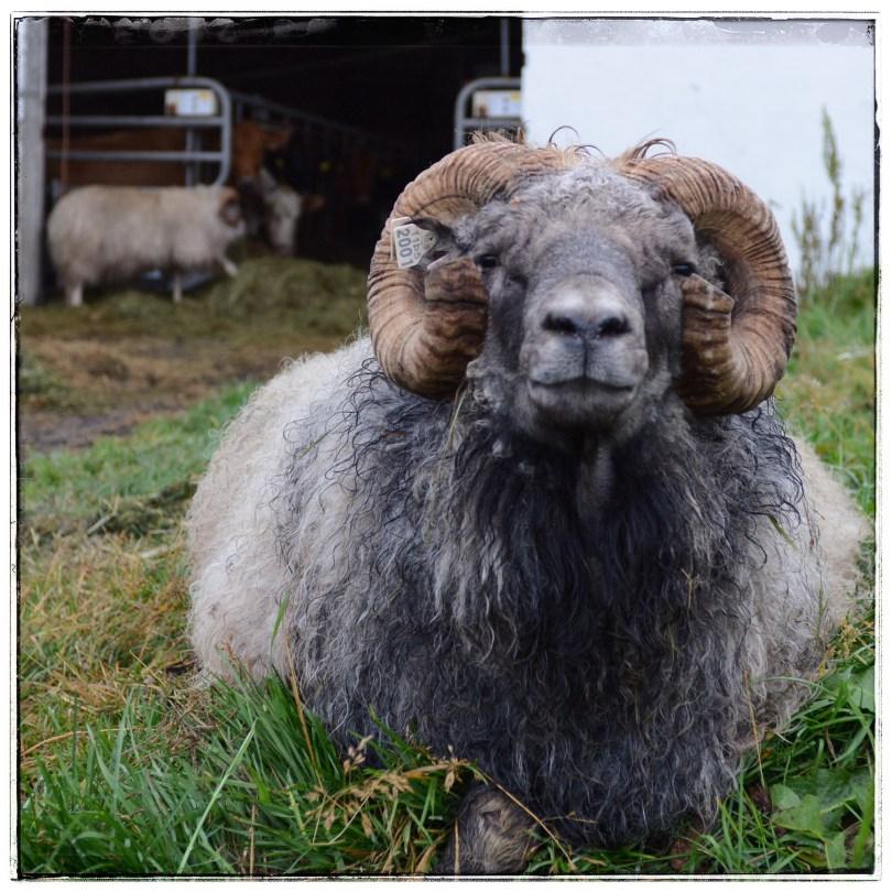 Icelandic sheep, Aðaldalur