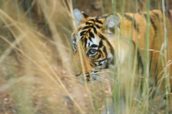The Tiger (William Blake)