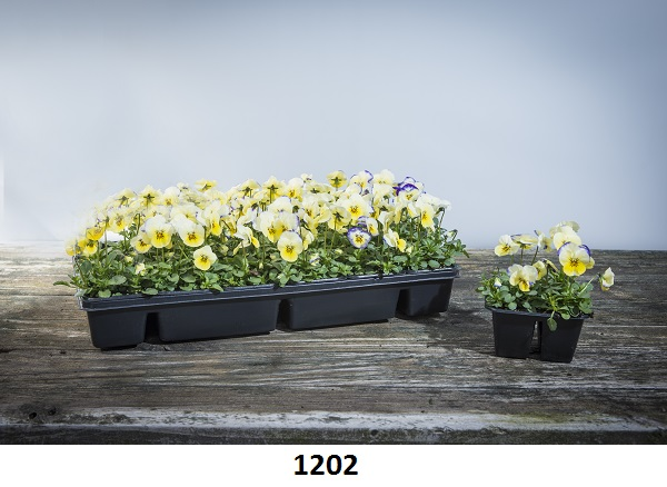1202 Viola Image