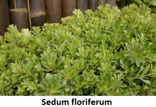 Sedum floriferum Image