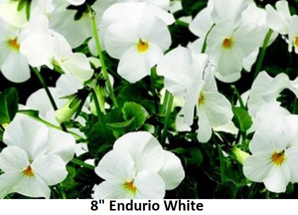8 Viola Image