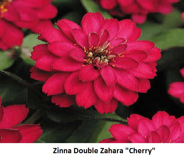 Zinnia Double Image