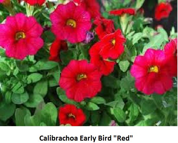 Calibrachoa Image