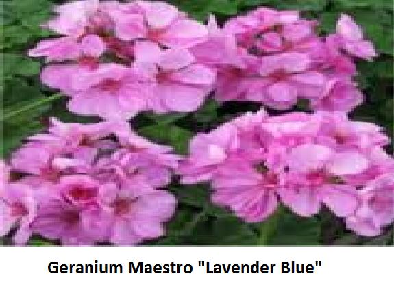 Geranium Maestro Image
