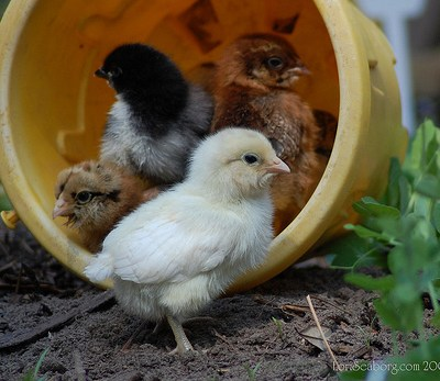 The Garden Chicks