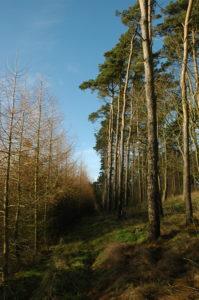 Fyrretræer