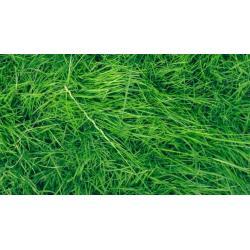 Small Crop Of Uc Verde Buffalo Grass