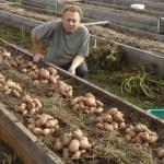 Как посадить картошку?