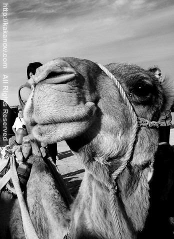 Handsome camel, Tunisia, North Africa
