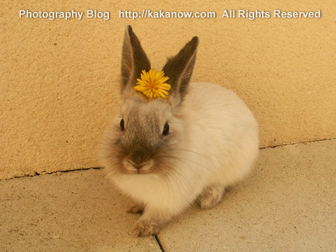 Little rabbit Lapinpin love dandelion flowers. Vacation at Marseille, France, Photo by KaKa.