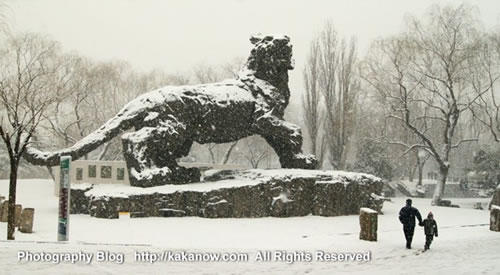 Huge tiger statue in snow, China Beijing Zoo. Photo by KaKa.