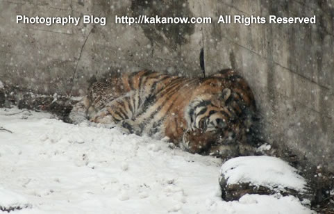 A sleeping tiger in snow, March in China Beijing Zoo. Photo by KaKa.