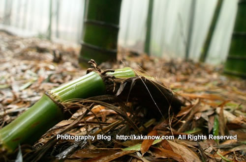 China, Chongqing travel, Yongchuan Bamboo-Sea, bamboo root, photo by KaKa.