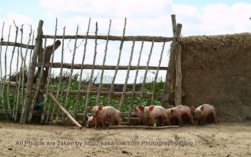 China travel, Inner Mongolia, Horqin Prairie, piggy in village. Photo by KaKa.
