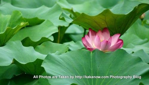 China, Beijing, Lotus in the summer palace Yiheyuan. Photo by KaKa.