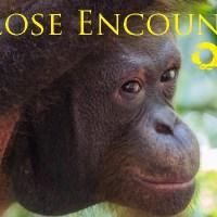Close Encounters at Sepilok Orangutan Sanctuary, Borneo