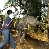 Слоненка забили до повиновения