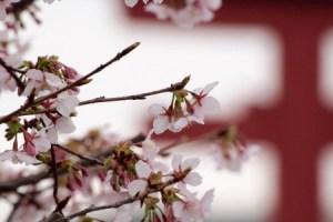 2月玉縄桜1美樹