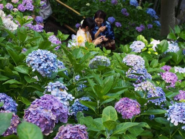 7月の紫陽花②長谷寺の小路(美樹).txt