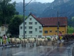 swiss alps cattle sheep drive
