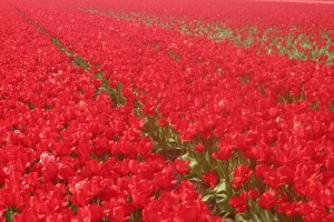 Tiptoe Through the Tulip Fields