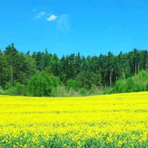And farewell to one of my favorite sights: the yellow fields of spring (rapeseed)