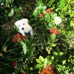 adorable puppy, white puppy, garden, flowers