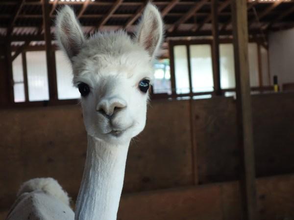 The real life Falcor at Peaceful Heart alpacas. Blue Ridge Parkway: America's Favourite Drive. USA -- Karina Noriega