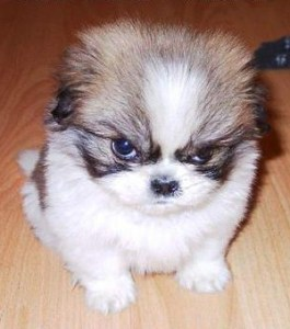 photo of adorably angry puppy