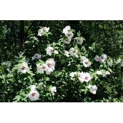 Small Crop Of Pruning Rose Of Sharon